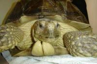 African_spur-thighed_tortoise.jpg
